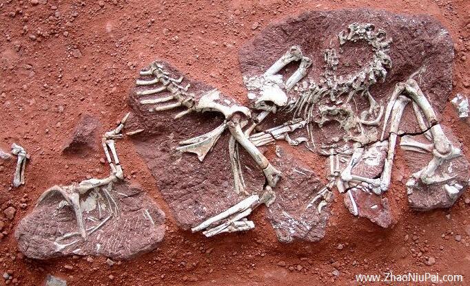 黄氏河源龙正型标本-白垩纪